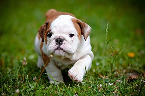 English Bulldog Puppy Funny Cute Animal Poster