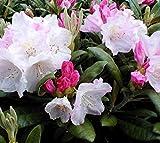 Yaku Princess Rhododendron - Live Plant - Quart Pot