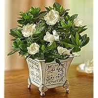 1800Flowers Grand Gardenia Flower Arrangement