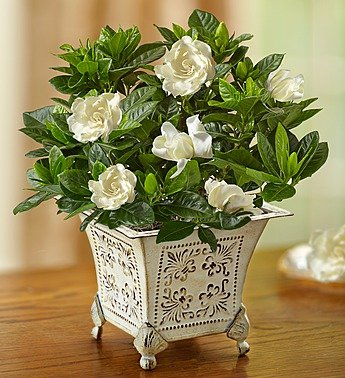 1800Flowers Grand Gardenia Plant with Antique-Inspired Planter