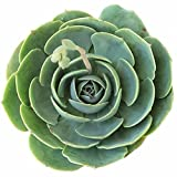 Blue Rose Echeveria Echeveria Imbricata Rosette Succulent (4 inch)