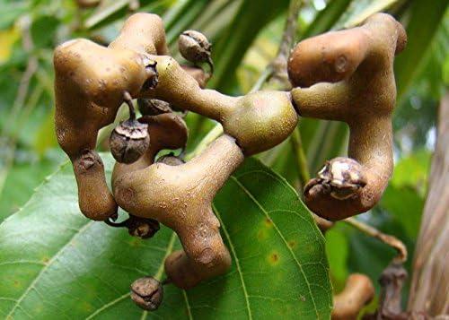 Hovenia dulcis Japanese Raisin 20_Seeds