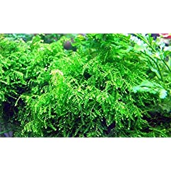 Hot Sale! Weeping Moss-for fontanus live pellia aquarium plant