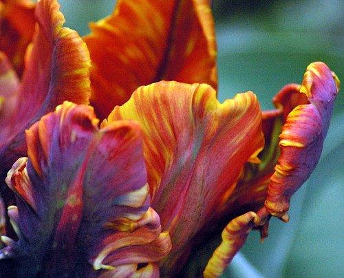 - 'Blumex' Parrot Tulip 10 Bulbs - EXOTIC & NEW - 12/+ cm Bulbs
