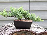 Hot Sale! Bonsai Japanese Dwarf Juniper Bonsai Tree