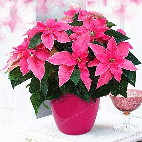 Plentree 100 Pcs//Bag Poinsettia DIY Potted Colorful Bonsai Flower Bonsai Indoor Outdoor Flower Flower Bonsai EDS Home Garden 9