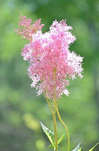 Pink Cluster Flowers - Queen of the Prairie Seeds - beautiful spray-like clusters of pink flowers!!!!(50 - Seeds)