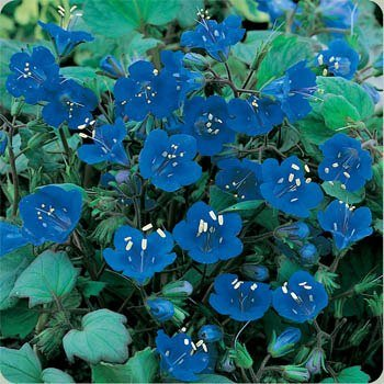 nia Bluebell - 5000 Seeds ()