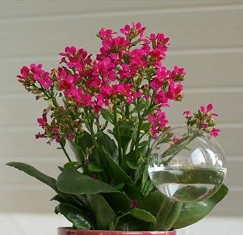 Durstkugel Bewässerungskugel als Wasserspender aus Glas für Pflanzen Rubinrot