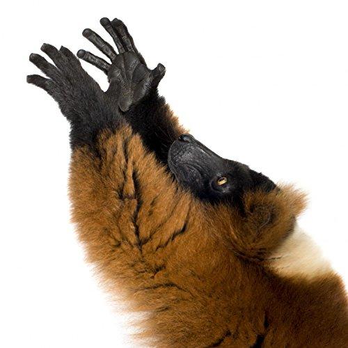 (Wallmonkeys WM213690 Red Ruffed Lemur Peel and Stick Wall Decals H x 30 in W, 30