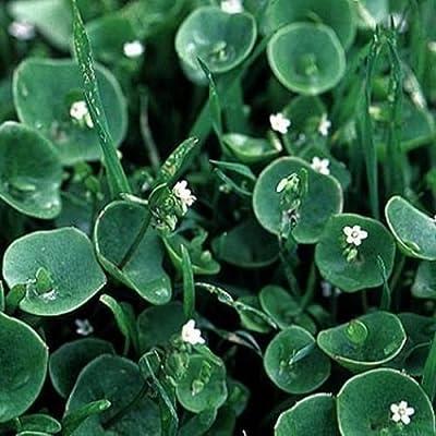 Purslane- Winter- Claytonia Perfoliata- 100 Seeds : Garden & Outdoor