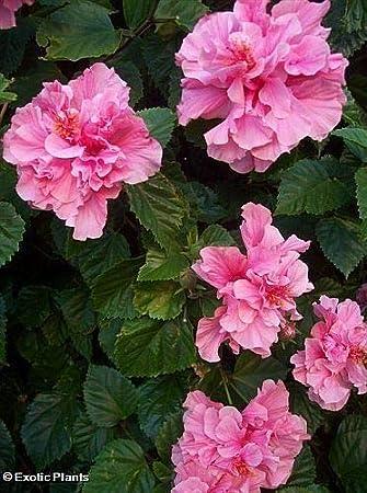 hibiskus strauch