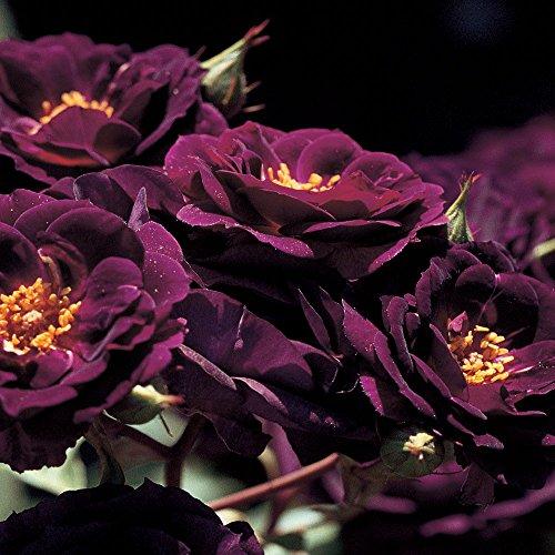 Midnight Blue Rose Bush Reblooming Purple Fragrant Rose Grown Organic 4