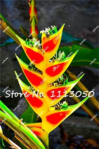 50 x Heliconia Seeds Rare Flower Seeds Home Garden Bonsai Potted Plant Seeds