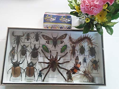 Real Rare Set Mix Insect Insects Box Display Taxidermy Framed Centipede Jewel Beetle Spider Cicada Xylotrures Collectible Entomology Home Decor Gift Handmade Bug Bugs 3D Glass Wood Wooden