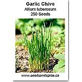 Garlic Chive Allium tuberosum 250 Seeds