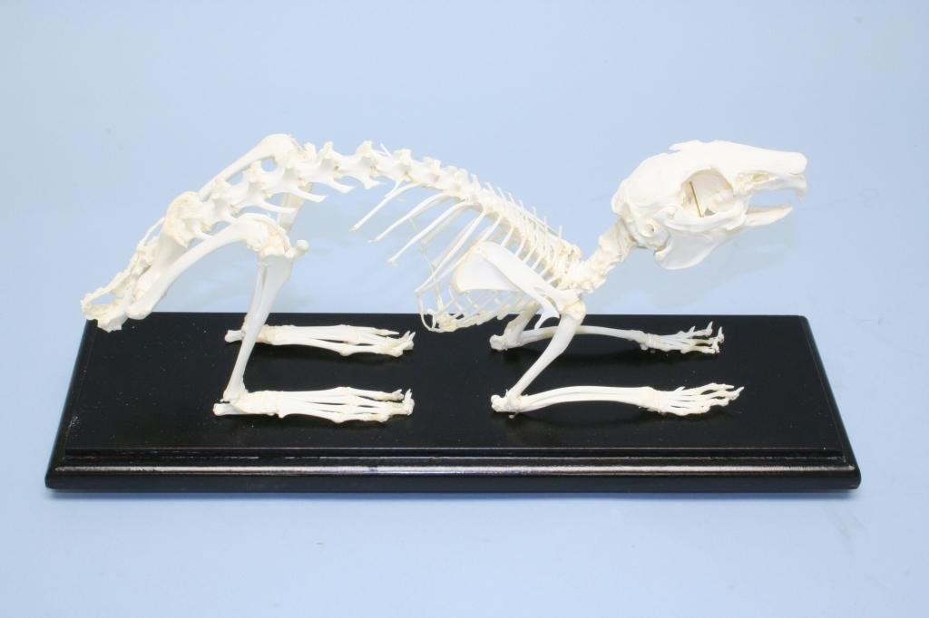C & A Scientific 51004 Kaninchen Skeleton Skeleton Skeleton 2df0ef
