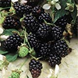 "Blackberry Plants ""Sweetie-Pie"" Price Includes Four (4) Plants"
