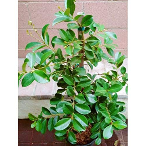 Strawberry Guava Tropical Fruit Trees 3-4 Feet Height in 3 Gallon Pot #BS1 by iniloplant (Image #2)