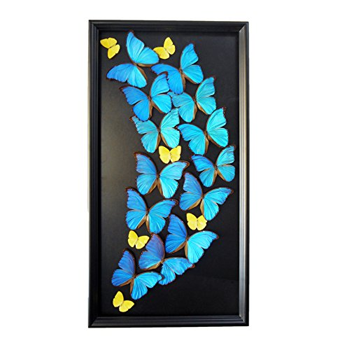 Real Blue Butterfly Large Artwork Modern Home Décor - Butterfly Taxidermy, Butterfly Shadow Box, Butterfly Display by Asana Natural Arts