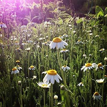 (Organic Roman Chamomile Seeds: Non-GMO, Certified Organic Heirloom Seed Packet)
