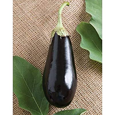 Traviata Organic (F1) Eggplant Seeds (40 Seed Pack) : Garden & Outdoor