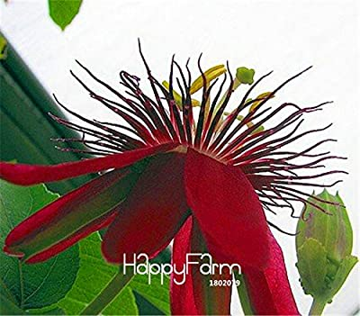 New Arrival!10 seeds/Lot Passion Flower Seeds Vine Fruit Passiflora bonsai plant Seeds DIY home garden,#JF0TRH