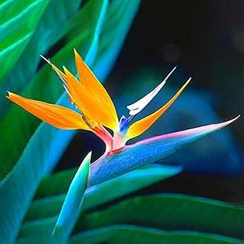 Inovey 100pcs Strelitzia Bonsai Graines Oiseau De Paradis Fleurs