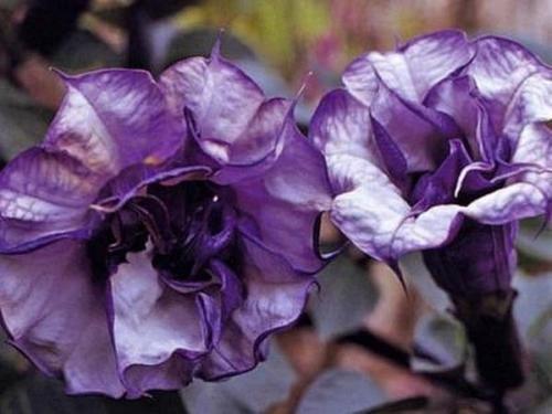 - Datura Angel's Trumpet Blackcurrent Swirl Seeds
