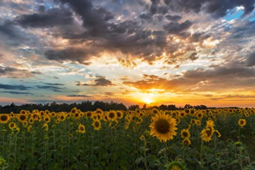 Sunflower Field Sunset Tuscany Italy Landscape Photo Art Print Poster 36x24 inch