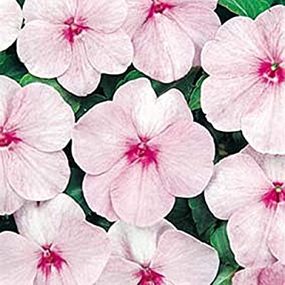 Impatiens Super Elfin Series Pink Seed : Garden & Outdoor