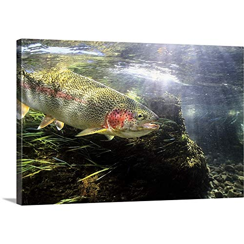 Wet Waders Premium Thick-Wrap Canvas Wall Art Print entitled Rainbow Trout in the Kulik river, Katmai National Park, Southwestern Alaska, Summer 48