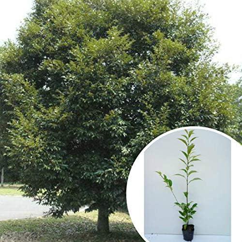【5本セット】 スダジイ 樹高0.5m前後 10.5cmポット (シイノキ) 苗木 植木 苗 庭木 生け垣 5本 5