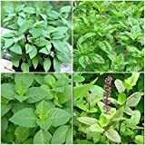 Holy Basil Plants Tulsi Sacred Basil Well Rooted Live Plants 5 to 7 Inches As003