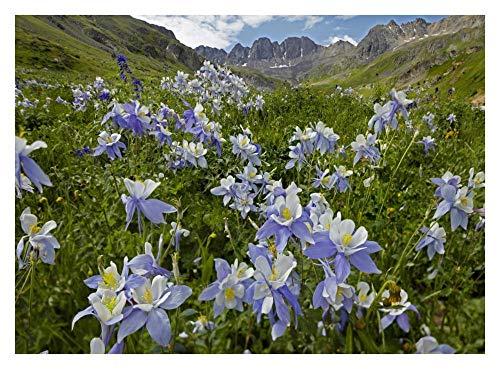 (Global Gallery Colorado Blue Columbine Flowers in American Basin, Colorado-Paper Art-34