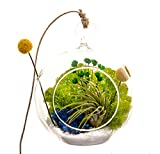 Bliss Gardens Air Plant Terrarium with 4″ Round Glass/Wonky Wonderland Review