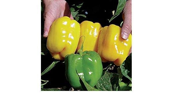 Pepper Sweet New Ace F1-25 Seeds Kings Seeds