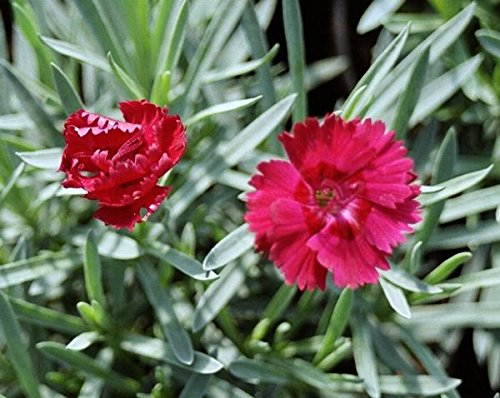 (25 Plants Classic Pint) Dianthus Fire Star - Fire Star Dianthus is Evergreen Produces a Showy Profusion of Fragrant, Fringed, Crimson red, 1