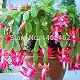10pcs / bag Christmas cactus flower seeds, christmas cactus plants bonsai for home & garden