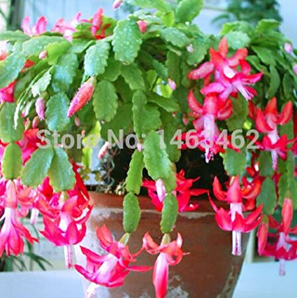 10pcs / bag Christmas cactus flower seeds, christmas cactus plants bonsai for home & garden SVI
