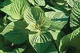 David's Garden Seeds Herb Shiso Asia IP SL5322 (Green) 200 Non-GMO, Open Pollinated Seeds