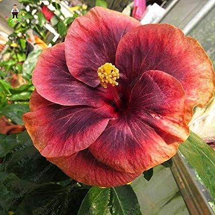 Amazoncom Go Garden 100pcs Japanese Style Rare Color Hibiscus