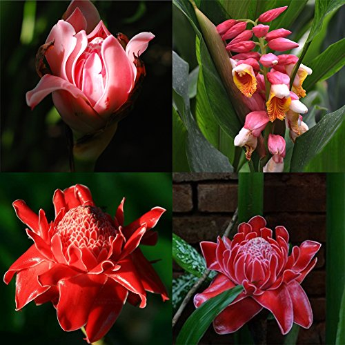 XKSIKjian's Garden 100Pcs Torch Ginger Rare Flower Etlingera Elatior Seeds Ornamental Plant Home Yard Office Decor Non-GMO Seeds Open Pollinated Seeds for Planting (Best Torch In India)