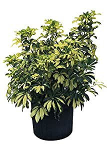 plantvine schefflera arboricola 39 gold capella 39 umbrella tree 10 inch pot 3. Black Bedroom Furniture Sets. Home Design Ideas