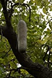 Home Comforts Laminated Poster Liver Sausage Tree Bignoniaceae Plants Kigelia Poster Print 24 x 36