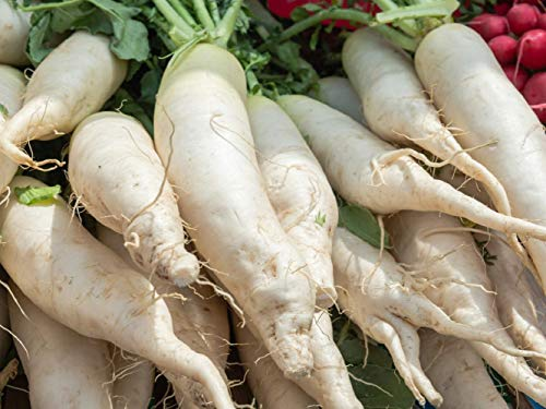 White Icicle Radish Seeds, Mini Daikon - 600 Seeds Non GMO Vegetables Garden ()