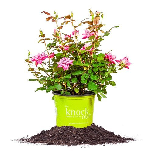 Knockout Double Pink Rose Shrub Plants by Knockout