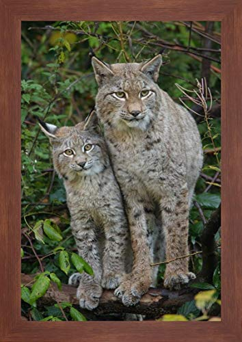 Lynx Mother with cub, Bavarian Forest National Park, Bavaria, Germany by Rob Scholten - 15