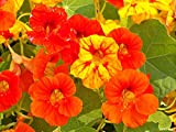 40 Seeds Garden Nasturtium Tropaeolum Canary Creeper Canarybird Mashua Seeds