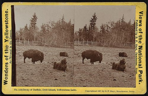 Dott Island - HistoricalFindings Photo: Photo of Stereograph,Yellowstone National Park,Buffalo,DOTT Island,Lake,2
